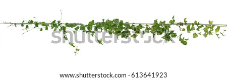 Plants ivy,  Wild climbing vine on electric wire on white background, clipping path. #613641923