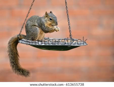 Eastern Fox squirrel (Sciurus niger) eating seeds from bird feeder #613655738