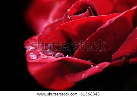 rain drop on red rose #61366345