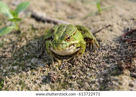 Big green frog sits on the gray earth #613722971