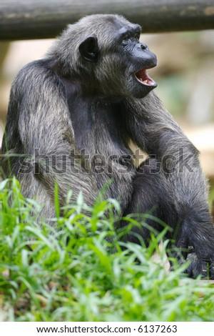 Chimpanzee #6137263