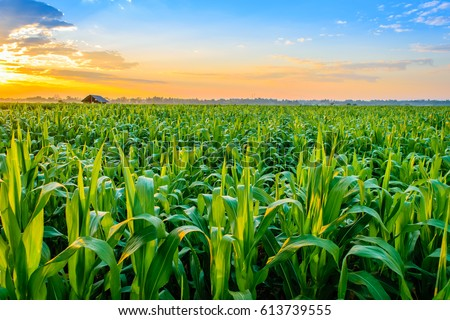 Beautiful morning sunrise over the corn field Royalty-Free Stock Photo #613739555