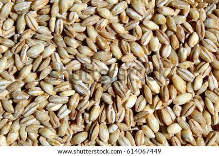 Barley grains #614067449