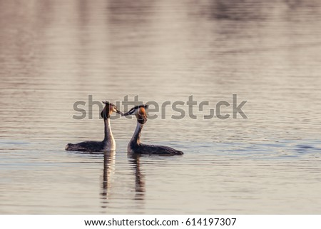 Horizontal photo with a couple of nice Great Crested Grebe birds with nice orange feathers on head and red eyes. Pair swims on the pond and starts courtship dance before mating.  Royalty-Free Stock Photo #614197307