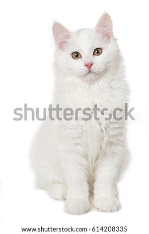 White maine coon kitten #614208335