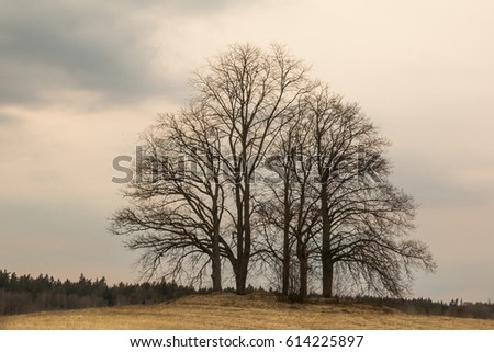 Latvia. Spring. Silhouette of a oaks without leaves on a rural landscape. #614225897