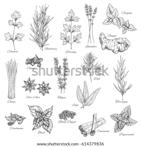 Herbs and spices vector cilantro, rosemary, parsley and lavender, ginger, oregano and cloves, chives, anise, dill, tarragon, sage and cardamom, basil and pepper, cinnamon and peppermint sketch #614379836