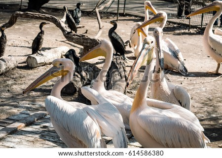 Curious birds pelican Royalty-Free Stock Photo #614586380