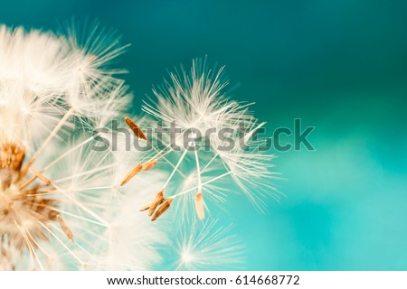 dandelion seeds close up blowing in blue turquoise background Royalty-Free Stock Photo #614668772