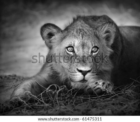 Close-up portrait of a young lion; panthera leo