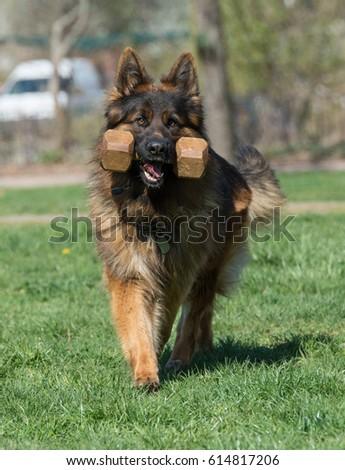 German Shepherd Running Through the Grass. Selective focus on the dog #614817206