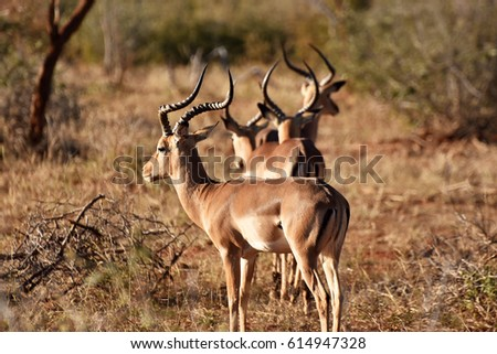 picture of a group of impala (gazelle) in Madikwe game reserve, South Africa.