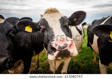 Cow face looking straight on #615080747