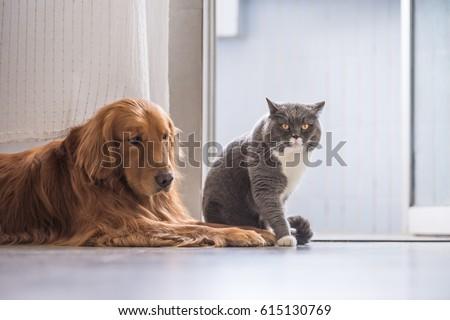 British cat and Golden Retriever #615130769