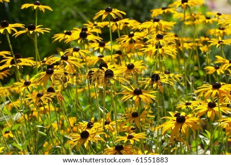 the image shows some black-eyed susan flowers #61551883