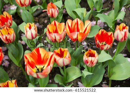 Red and Yellow Tulips in Garden #615521522