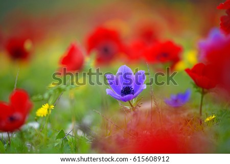 Beautiful Violet Crown Anemone #615608912