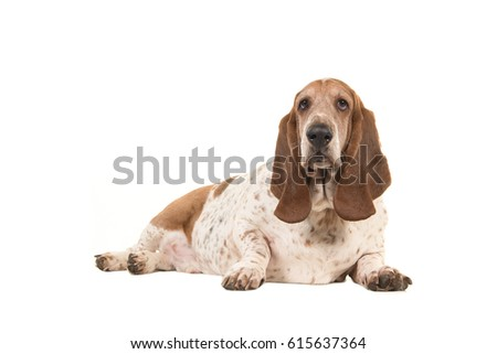 Older overweight basset hound lying down facing the camera seen from the side isolated on a white background #615637364