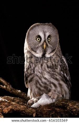 Owl isolated studio photo on black background great gray owl