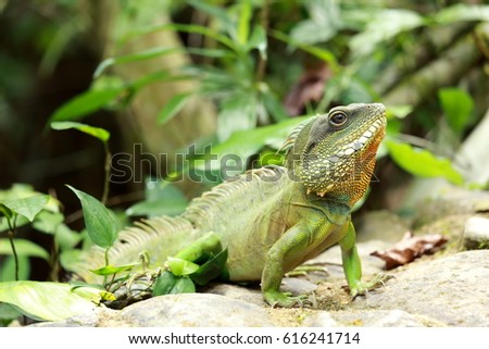 chinese water dragon in thailand #616241714
