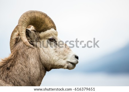 Side view of male bighorn sheep ram against a grey neutral sky. #616379651
