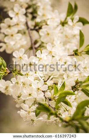 white apple spring flowers ,pink ,amazing ,nature ,fresh ,sky, green background  ,floral, lovely , petals ,branches ,decoration ,exterior ,home ,front ,house ,lovely ,tree ,brown ,cherries  #616397243
