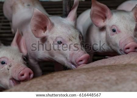 Newborn piglet suckling pig mother. Piggy pig scramble milk from the mother #616448567