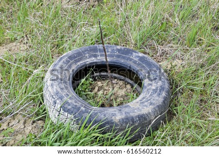 Protection of young seedlings with the help of an old rubber wheel tire. #616560212
