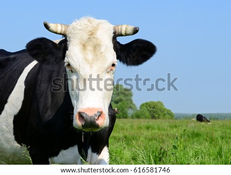 Cow on a summer pasture #616581746