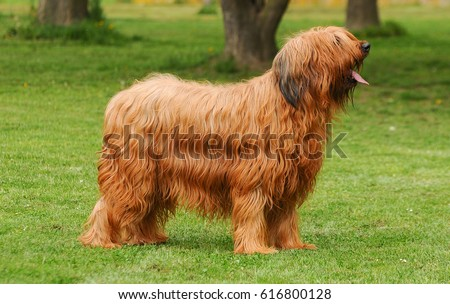 Briard dog, portrait of french shepherd in outdoors. #616800128