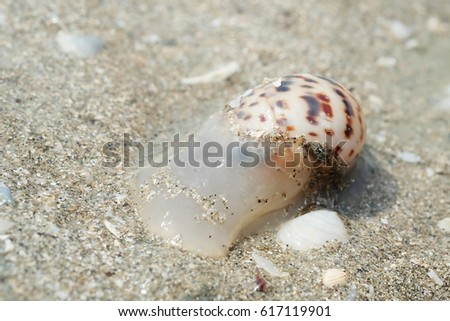 Close Up Shot of a Sea Snail #617119901