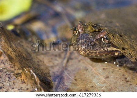 Frog under a fallen leaf inside a pond #617279336
