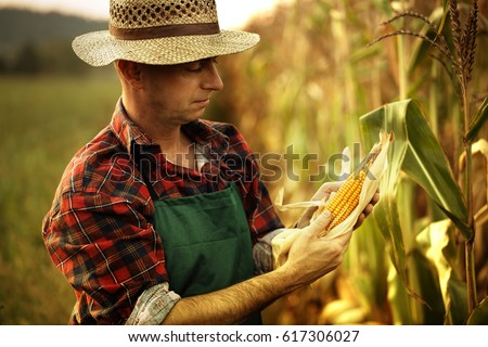farmer inspecting corn cob at his field #617306027
