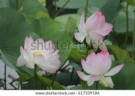 Beautiful lotus flower with honeybees approaching surrounding #617339186