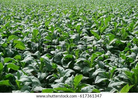 Tobacco plantation #617361347