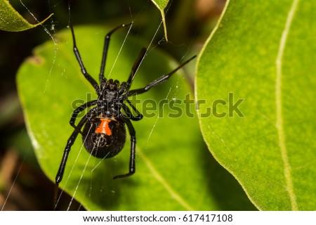 Black Widow Spider #617417108