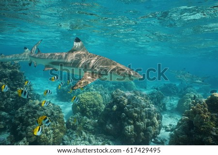 Blacktip reef shark underwater ocean with tropical fish butterflyfish and corals in a lagoon of a south Pacific island in French Polynesia #617429495