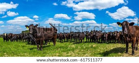 Angus cattle in a pasture in Southeastern Georgia. Royalty-Free Stock Photo #617511377