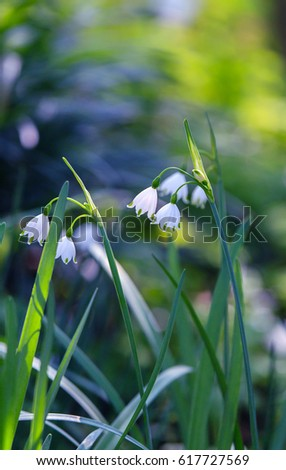 Snowdrop spring flowers in the park. #617727569