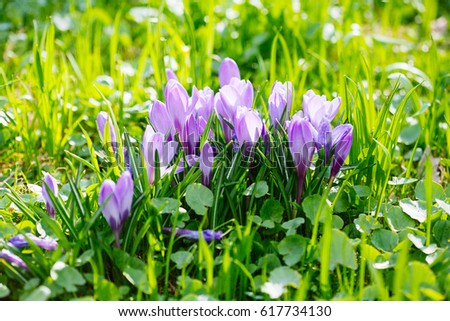 Group of Purple crocus (crocus sativus) with selective/soft focus and diffused background in early spring, #617734130