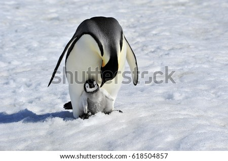 Emperor Penguin with chick