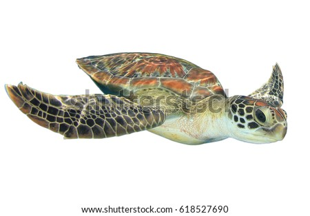 Sea Turtle isolated on white background #618527690