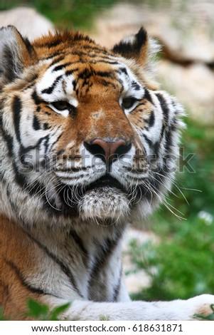 Portrait of a Bengal Tiger #618631871
