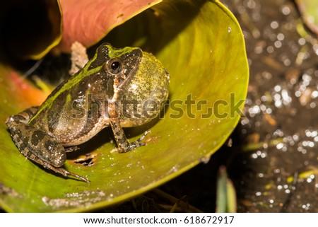 Florida Cricket Frog #618672917