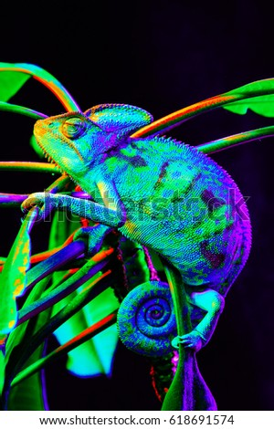 Yemen chameleon isolated on black large background.Lizard on the green leaves.skin has a bright color #618691574