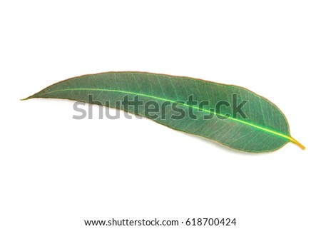 close up Eucalyptus leaves on white background #618700424