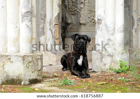 Portrait of Corso Dog, Italian breed of dog. #618756887