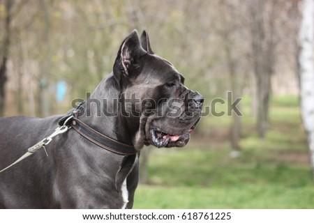 dog cane Corso walking #618761225