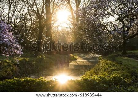 Magnolia ( Magnoliaceae ) - Full bloom in the morning light #618935444