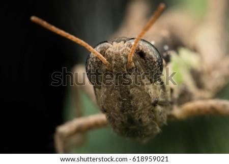 Close up eye Grasshopper , Grasshopper in Thailand #618959021